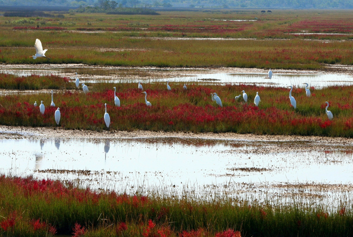 Great White Herons on Bogs