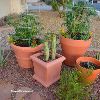3 BIG SECRETS on How to Grow a Tomato in a Container
