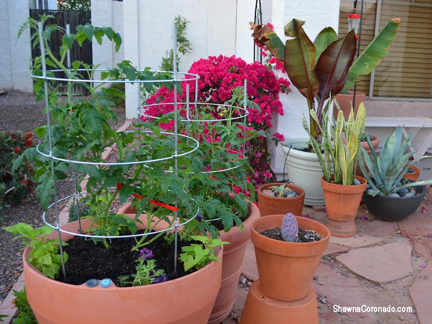 Crescent Garden Tomato Planted Brunello and Trudrop Rim 26 inch Pots