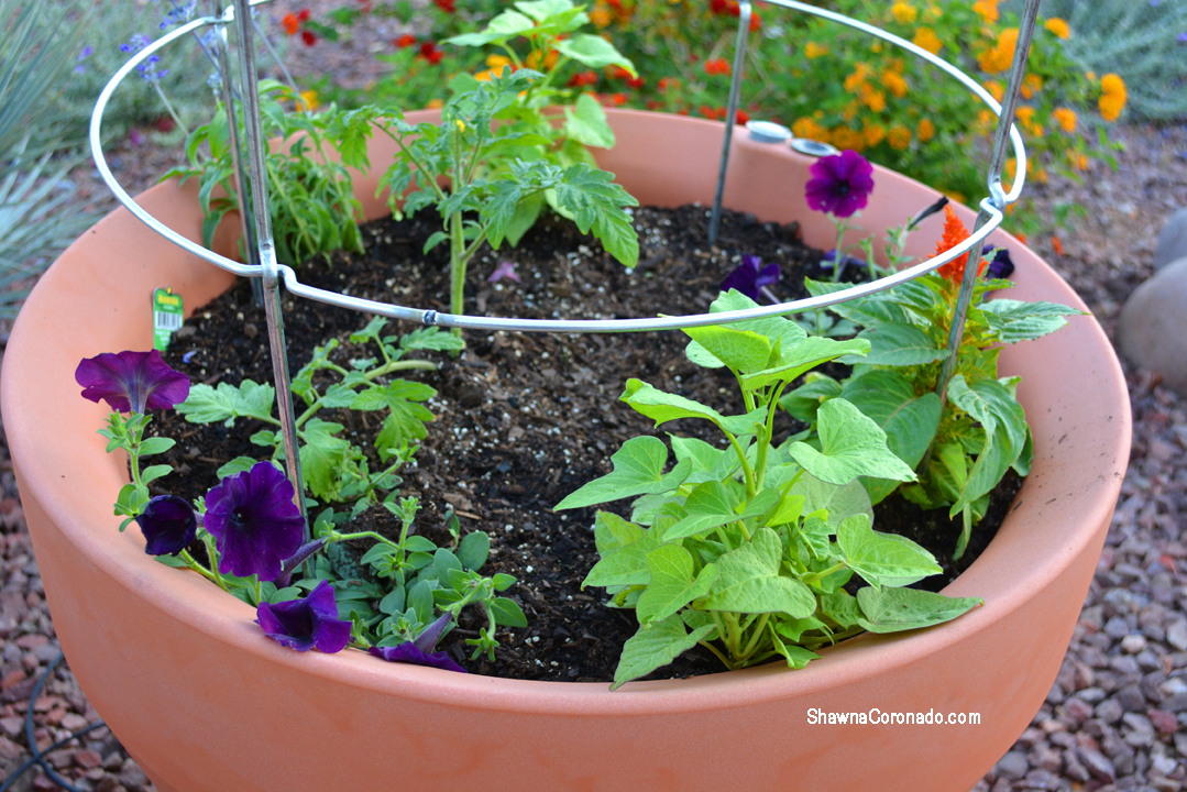 Crescent Trudrop Rim Planter 26 inch Planted with Tomatoes and Annuals
