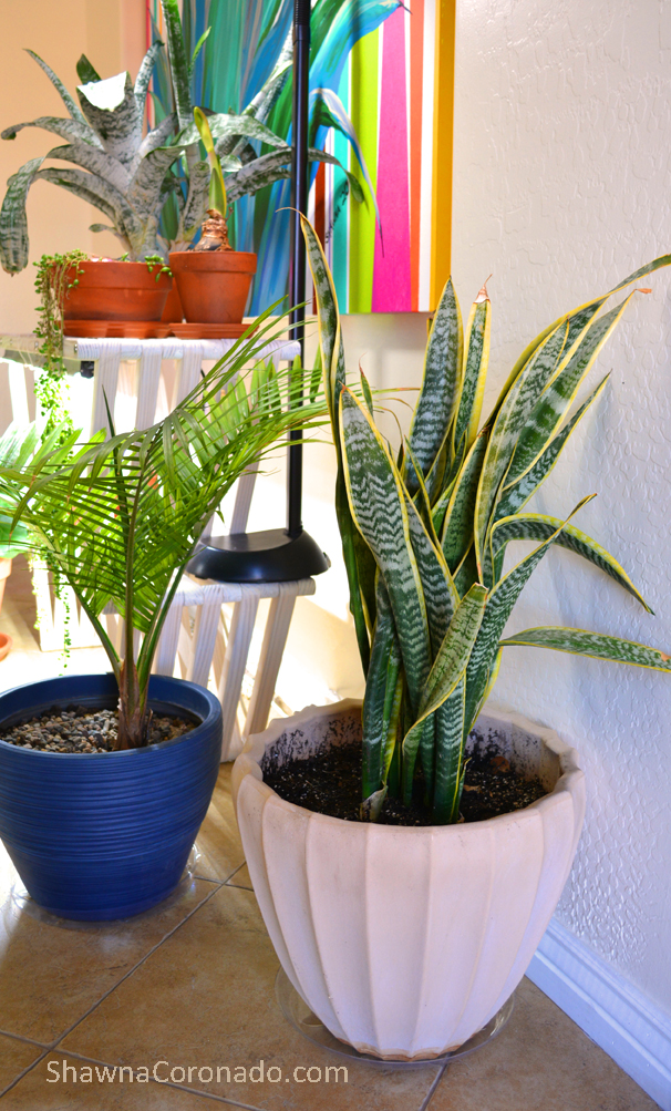 Houseplant Sansevieria in new container