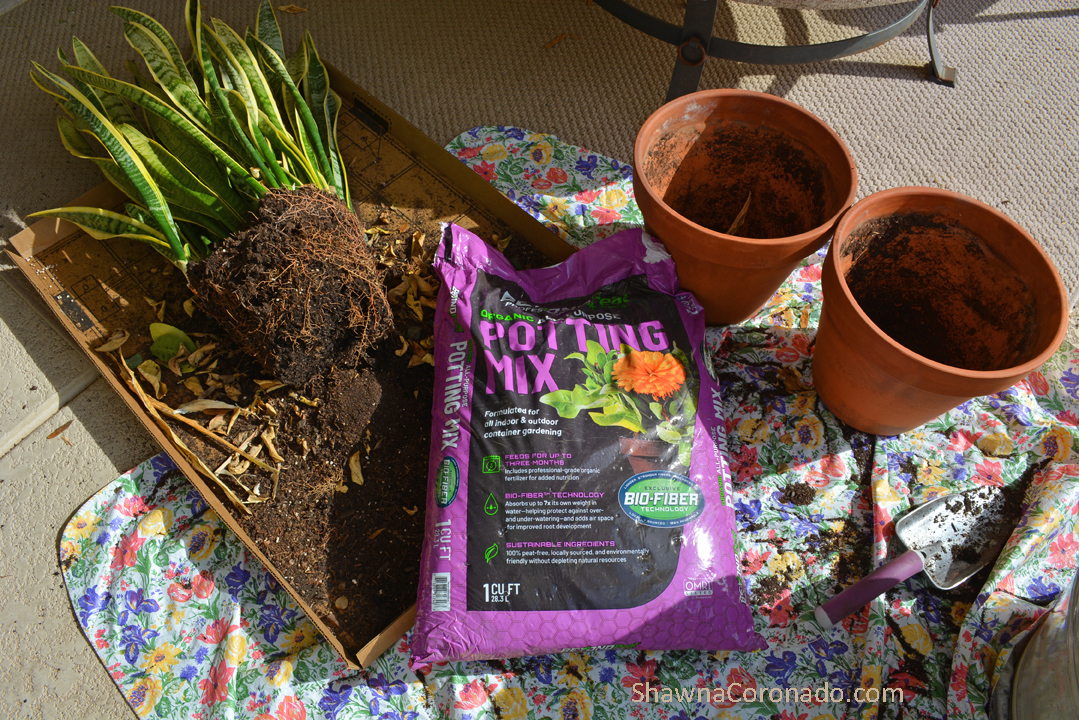 Houseplant Sansevieria out of pot
