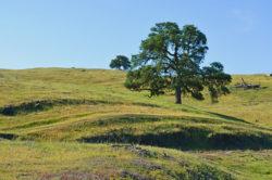 California Fields with Tree copyright Shawna Coronado
