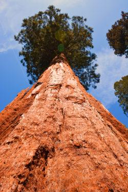 California Giant Sequoia Mariposa Grove