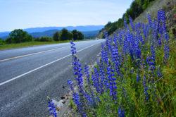 California Purple Roadside Lupine