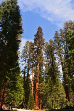 California Redwood Sequoia Mariposa Grove