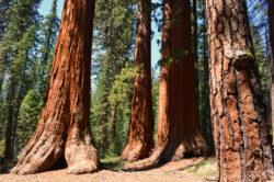 California Redwoods at Mariposa Grove