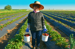 California Strawberry Picking Lady copyright Shawna Coronado