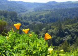 California Wild Flowers copyright Shawna Coronado