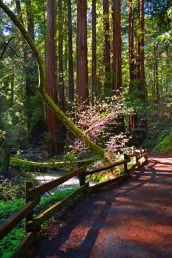 Muir Woods Park Moss Water and Light copyright Shawna Coronado