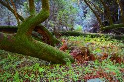 Muir Woods Park Moss and Trees copyright Shawna Coronado
