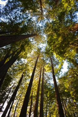 Muir Woods Park Trees copyright Shawna Coronado