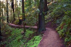 Muir Woods Park WindingTrails copyright Shawna Coronado.jpg