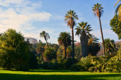 Palm Trees at Orto Botanico in Rome Italy copyright Shawna Coronado