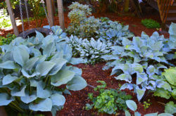Hostas in Blue Photographed at Dan Heims Garden Copyright Shawna