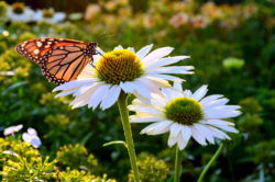 Butterfly and White echinacea copyright Shawna Coronado