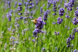 Lavender Bee Pollinating Flower copyright Shawna Coronado