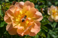 Peach rose with pollinating bee copyright Shawna Coronado