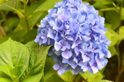 Blue Hydrangea Garden Flowers © Shawna Coronado