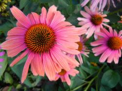 Pink Echinacea copyright Shawna Coronado