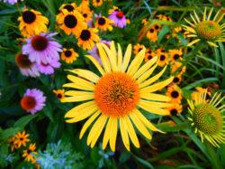 Echinacea and Black eyed Susan Flowers copyright Shawna Coronado