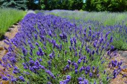 Lavender Field Photo copyright Shawna Coronado