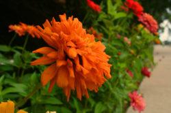 Orange Zinnia copyright Shawna Coronado