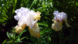 Silicon Prairie Iris from Rainbow Iris Farm copyright Shawna Coronado