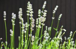 White Lavender Plant Photo copyright Shawna Coronado